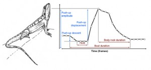Figure 2 from Barquero et al. (2015). Sequence of the movements involved in the pushup display of the Jacky dragon (drawing by Jose Ramos).