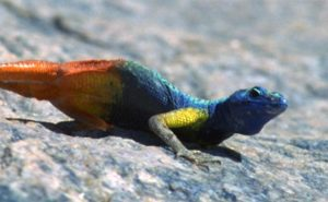 Male flat lizard showing off his colourful throat to ward off rivals. Photo by Martin Whiting.