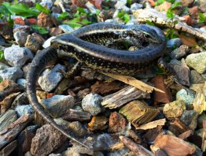 Eastern Water Skinks giving no quarter. Photo by Martin Whiting.